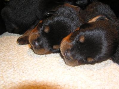 Asmara Pups 1 Week